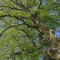 Naturpark Habichtswald LKarner Buchenkrone Von Bäumen und Blättern