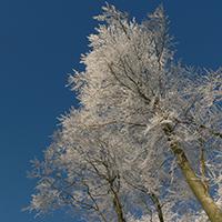 Naturpark Habichtswald LKarner Winter geeiste Bäume Botanische Exkursionen rund um Zierenberg: Dornröschenschlaf   Bäume im Winter