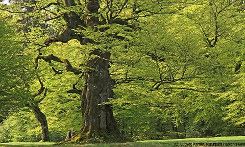 Naturpark Habichtswald Ludwig Karner Golfbuche Baumgeschichten