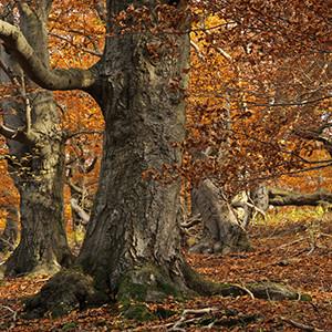 (C)Naturpark Habichtswald/Ludwig Karner/Herbstwald