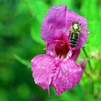 Naturpark Habichtswald_Pixabay_Springkraut