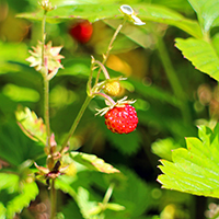 Naturpark Habichtswald_Pixabay_Walderdbeere