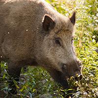 Naturpark Habichtswald_Pixabay_Wildschwein