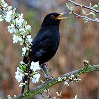Naturpark Habichtswald_VDN_Alfred Kohn_Amsel im Frühling