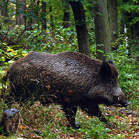 Naturpark Habichtswald_VDN_TDuschner_Wildschwein