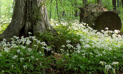 Naturpark Habichtswald VDN Winfried Heidl Bärlauch Botanischer Abendspaziergang: Bärlauch Wald bei Calden