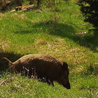Naturpark Habichtswald_VDN_arion_Wildschwein