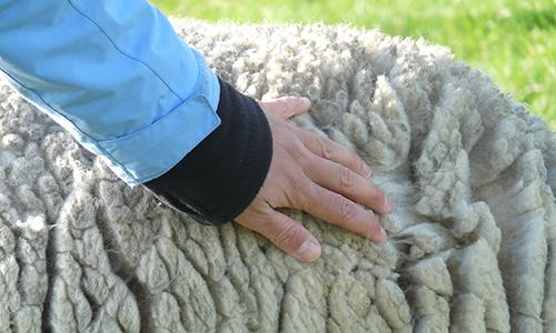 Naturpark Habichtswald pixabay sheeps wool Wolle   viel mehr, als nur das Kleid vom Schaf (Workshop)