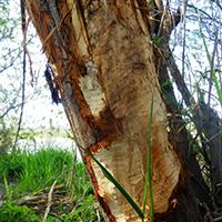 Naturpark Habichtswald pixelio M. Großmann Spuren am Baum Ja, wer war denn das? – Spuren in Wald und Flur