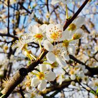 pixabay Schlehenblüte Die Obst  und Schlehenblüte   Mit der Fotokamera ein Stück Natur von der Schauenburg nachhause tragen