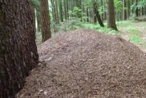 Ameisenhaufen (c) Naturpark Hirschwald