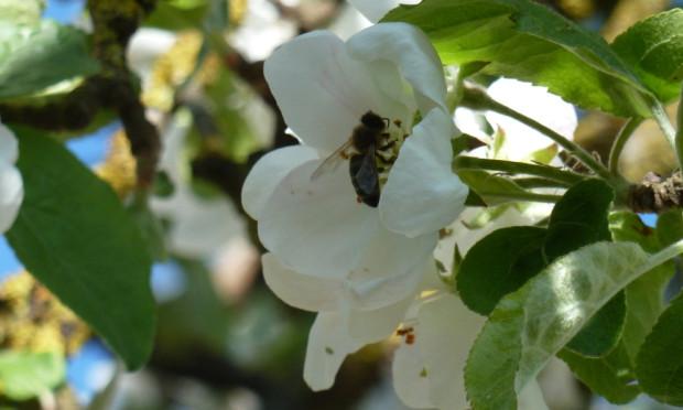 Biene Apfelblüte 620x372 Lichtbildervortrag Insektensterben   Was hat es damit auf sich?