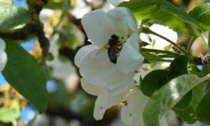Biene Apfelblüte
