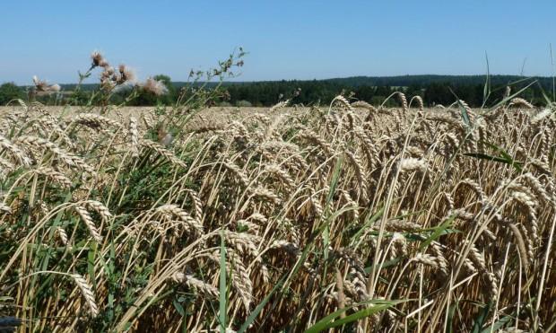 Getreidefeld 620x371 Amberg Sulzbacher Land ist Ökomodellregion