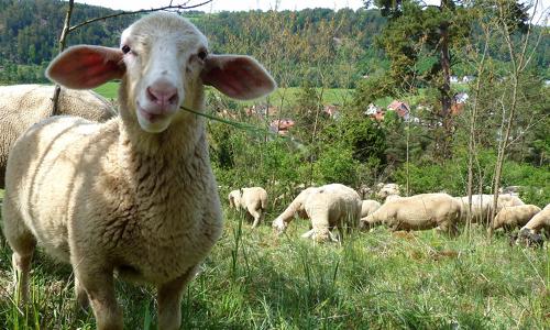 Lamm Naturschutz und Gaumenschmaus verbinden   das Juradistl Lamm
