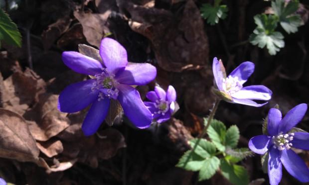 Leberblümchen c Naturpark Hirschwald 620x372 Frühlingsboten im Naturpark Hirschwald