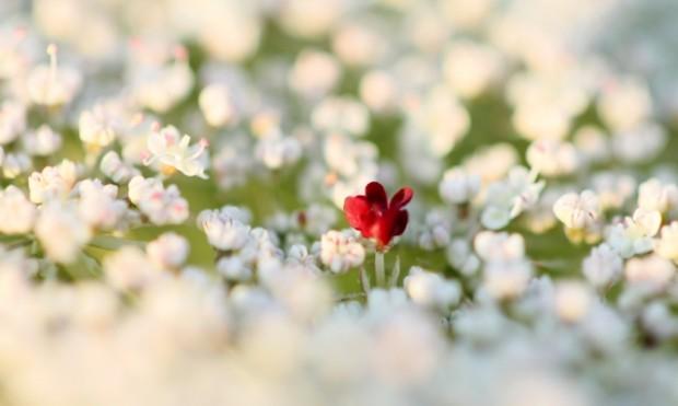 NL Wilde Möhrenblüte c Nadine Haase 620x371 Ein eigenes Herbarium anlegen