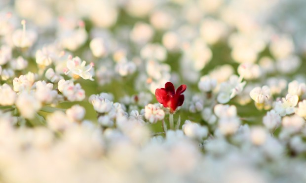 NL Wilde Möhrenblüte c Nadine Haase 620x372 Mit Kräutern fit in den Frühling