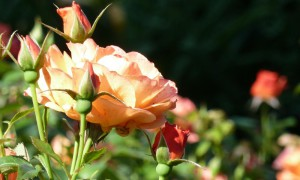 Rose (c) Naturpark Hirschwald