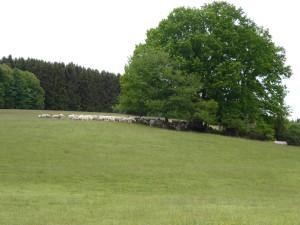 Schafbeweidung_im_LSG_Ammerbachtal__c__Naturpark_Hirschwald