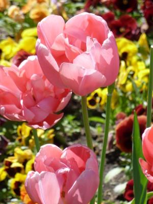 Tulpen__c__Naturpark_Hirschald