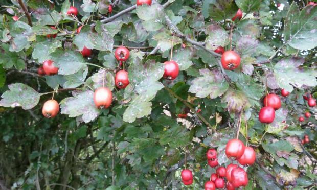 Weißdorn c Naturpark Hirschwald 620x372 Wildkräuter im Herbst