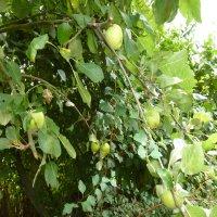 Äpfel-1 Foto B.Krass