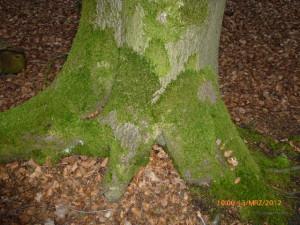 Baumfuß mit Moos Foto B. Kraß
