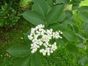 Holunderblüte_web