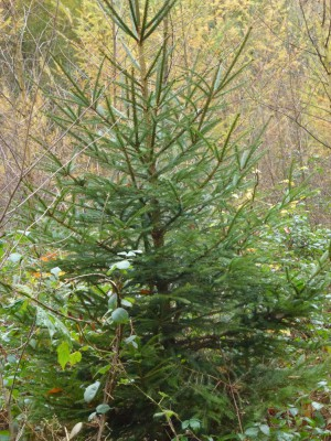 Weihnachstsbaum -1