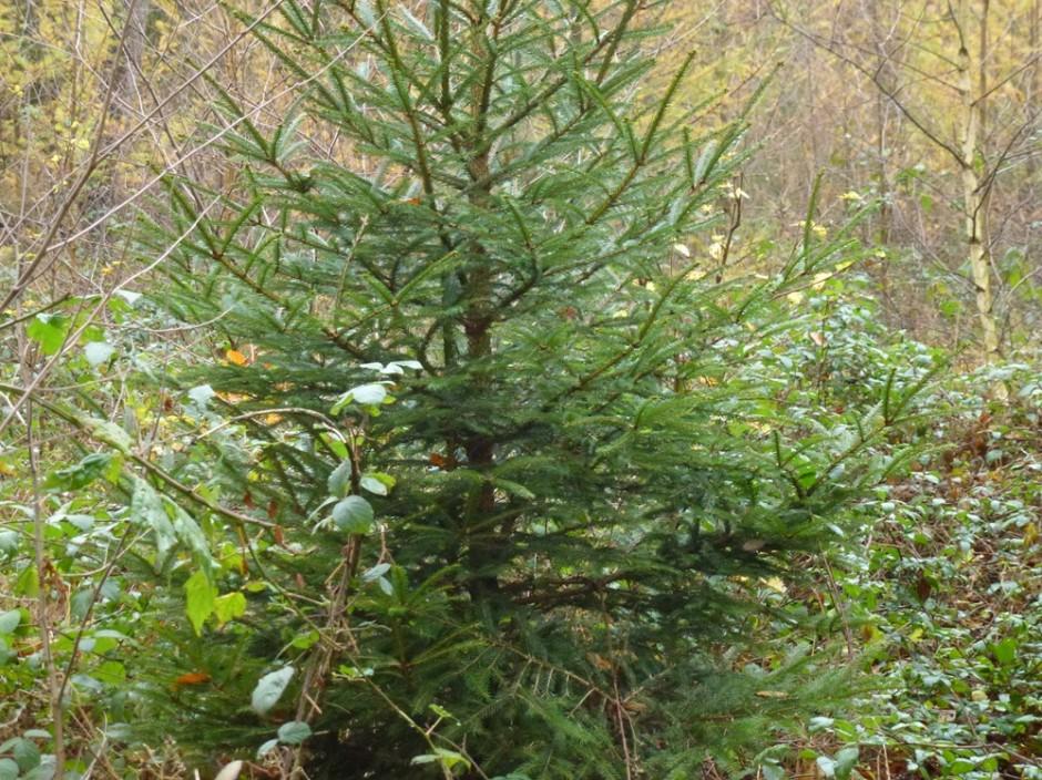Weihnachtsbaum 2 940x704 Weihnachtsbäume schlagen mit dem Förster