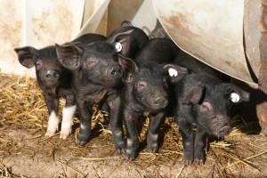 Anglersattelschweine Foto S. Koschinski1 300x200 Ökologisch wirtschaften mit alten Haustierrassen