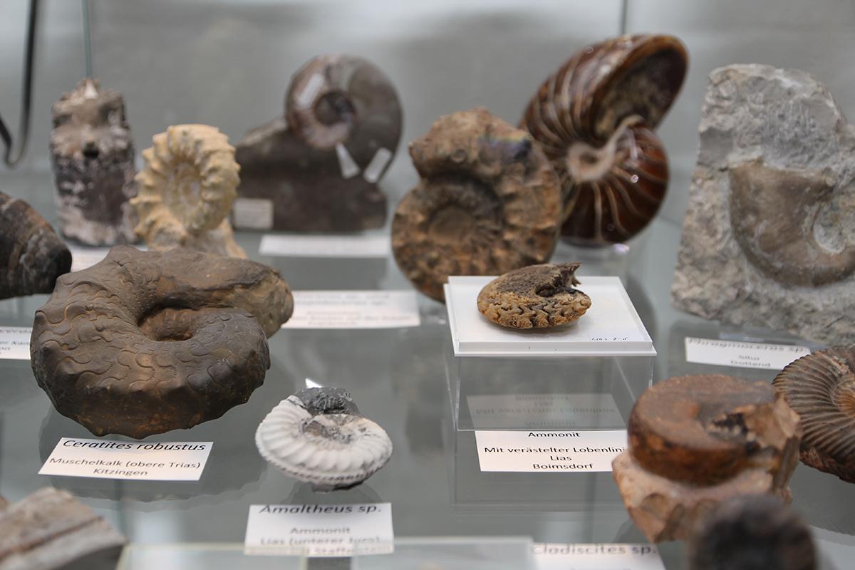 Eiszeitmuseum Ammoniten Fossilienwerkstatt im Schleswig Holsteinischen Eiszeitmuseum
