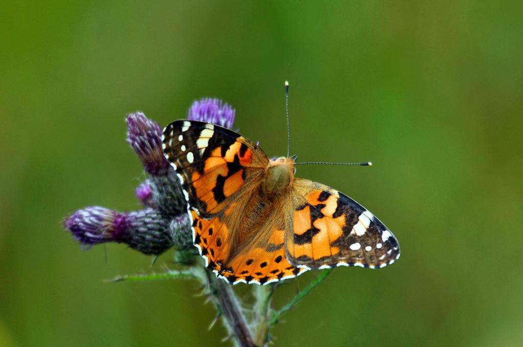 Foto VDN Norbert Schreiber Garten.Querbeet: Besuch des NABU Schmetterlingsgartens in Bad Segeberg