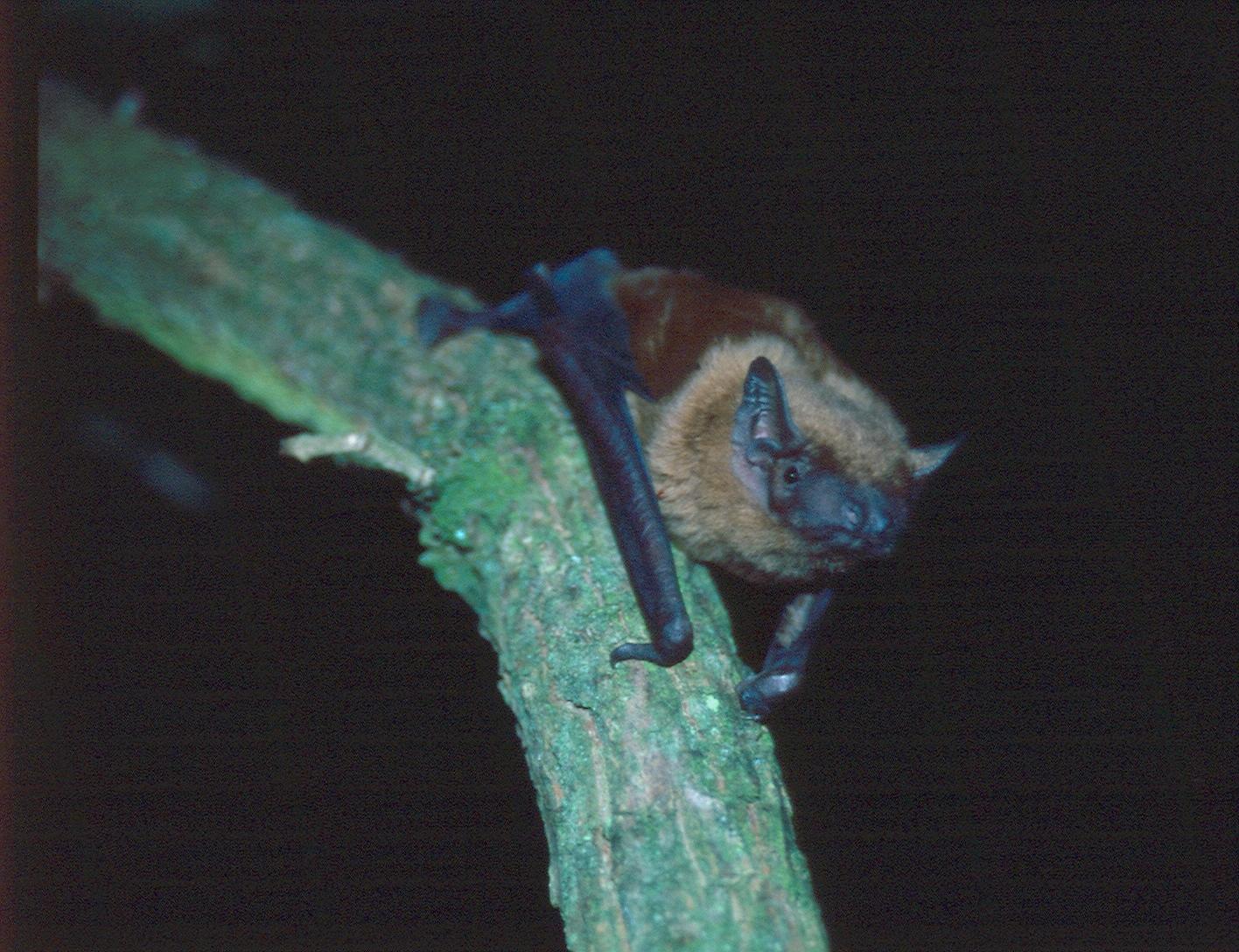 Großer Abendsegler Nacht.Geflüster: Fledermäuse – Jäger der Nacht