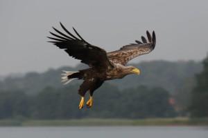 Seeadler Foto VDN Loris 300x200 Mittwoch, 18.06.2014: Besuch der Seeadler
