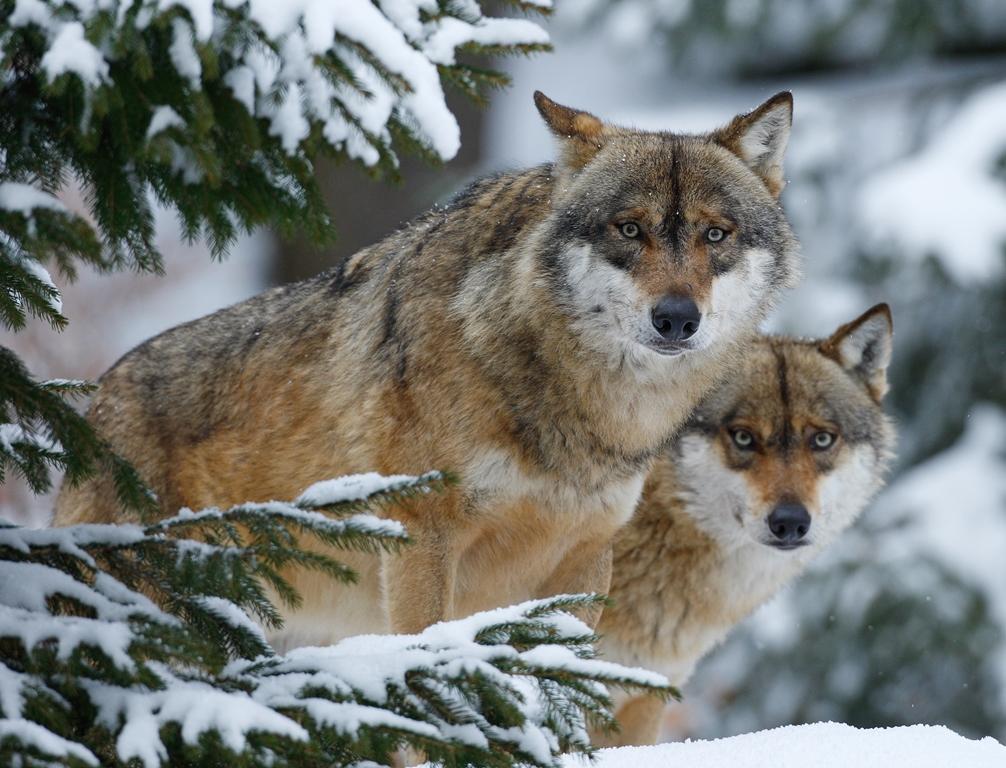 VDN Peter Lindel Neues Erlebnisprogramm für Schulklassen: Der Wolf