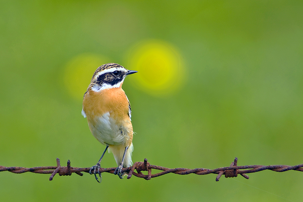 VDN blum1 Auf den Spuren der Wiesenvögel im Heidmoor