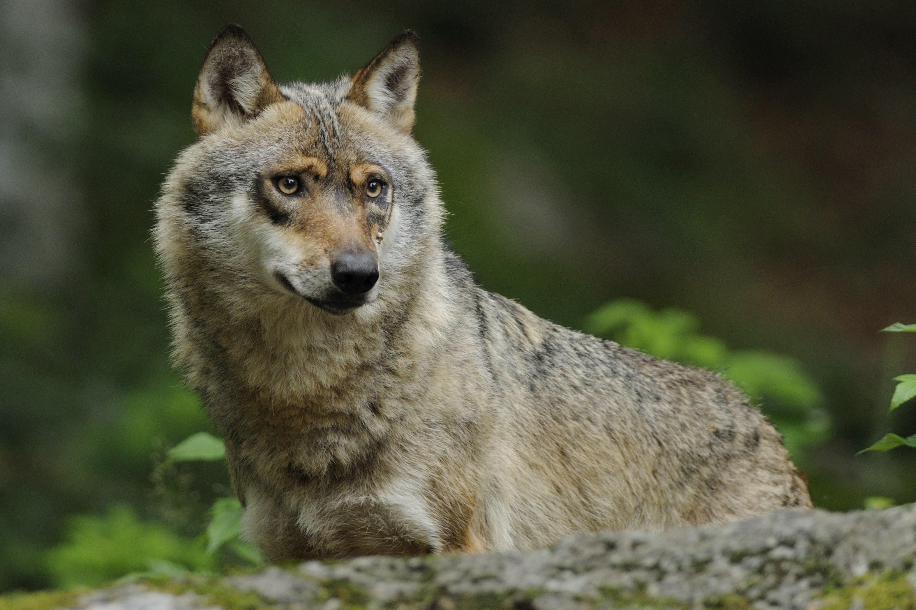 Wolf 3 Aus der Reihe Nachtgeflüster: Wölfe   Unsere neuen Nachbarn