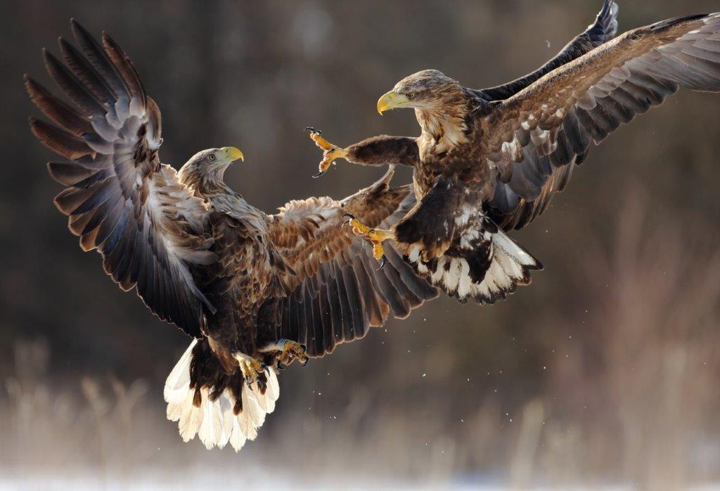 iStock.com Knyva Naturparktier des Jahres 2021: der Seeadler