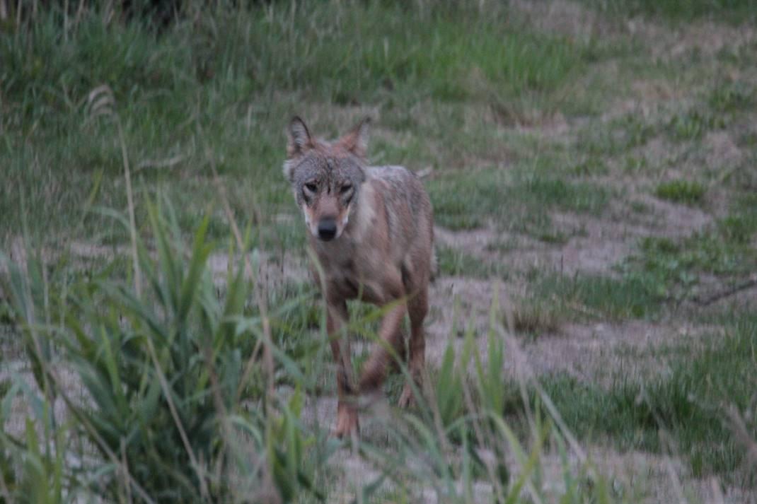 """wolf Stephan Kaasche Bildvortrag: """"Wölfe   Unsere neuen Nachbarn"""""""