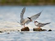 Flussseeschwalben - Copyright: VDN/Michael Wolta