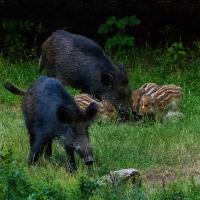 Schweinebande © VDN/Rainer Ax