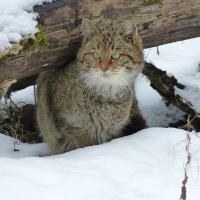 (c) Naturpark Stromberg-Heuchelberg_Wildkatze