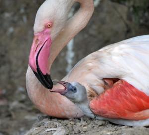 c Vogelpark Herborn Nachwuchs Flamingos 300x271 HR Fernsehen berichtet über vierfachen Nachwuchs bei den Rosa Flamingos