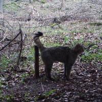 (c) Wildkatze am Lockstock_B-Hennemuth_Q