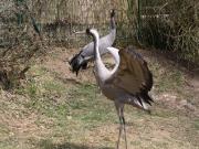 (c)Vogelpark Herborn_EuropKranich2013_k