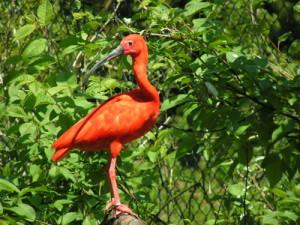 cVogelpark Herborn RoterIbis 300x225 Die biologische Vielfalt erleben