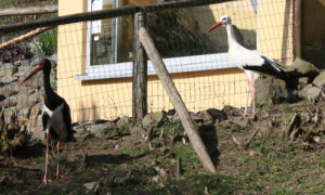 cVogelpark Herborn Schwarstörche 300x180 Schwarzstorchweibchen Nigra aus Berlin eingetroffen