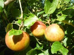 Äpfel (c) Sibylle Susat